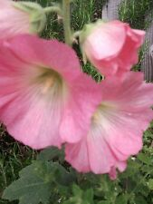 1000 HOLLYHOCK SEEDS  MIXED COLOURS ALCEA ROSEA.