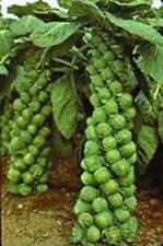 BRUSSEL SPROUTS SEED, CATSKILL, HEIRLOOM, ORGANIC, NON GMO, 25+ SEEDS, GARDEN