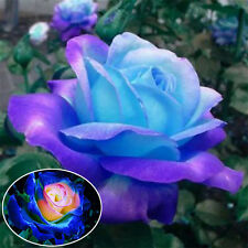 50pcs Bag Rare Blue Pink Roses Plant Seeds Balcony Garden Potted Rose Flowers
