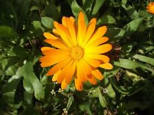 Calendula officianalis - Pacific Beauty - English Marigold - 200 Seeds
