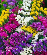 Statice Pacific Mix Seed 7 Bright Colours Cut or Dried Flowers Good Vase Life