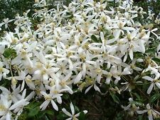 Clematis aristata -Travellers Joy - 10 seeds