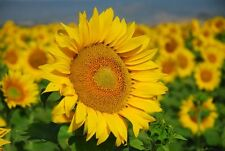 5 Semi di GIRASOLE * Sunflower Titan ( Helianthus annus) seeds * semillas