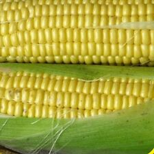 100 Kandy Korn Hybrid Sweet Corn Seeds - Gold Vault Jumbo Seed Packet
