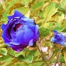 10 Semillas de Peonia Azul China  (Paeonia suffruticosa)
