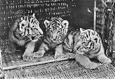 B98494 tigre tiger real photo leipzig zoo germany  animals animaux