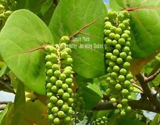Coccoloba uvifera 10 Seeds Sea Grape RARE! Tropical evergreen Plant standard