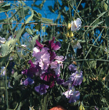 Kings Seeds - Sweet Pea, Great Expectations - 35 Seeds