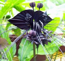 Black Tiger Shall Orchid Flowers Seeds 100pcs Rare Garden Flower