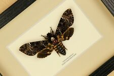 Death's-head Hawk moth ( Acherontia lachesis)  real framed butterfly  insect