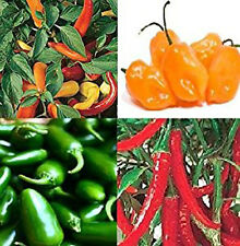 Liveseeds - CHILLI seeds Jalapeno, Hungarian , Habanero,Ring O FIRE 15 seeds