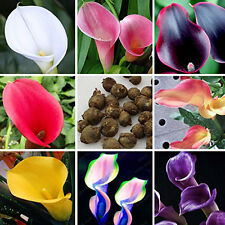 Cute New Popular 100PCS Bonsai Colorful Calla Lily Seeds Rare Plants Flowers ID8
