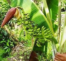 Yunnan Banana - 10 Seeds - Musa yunnanensis - Fast Growing Banana Plant