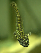 (2) Ornate Bichir - Polypterus ornatipinnis - Freshwater Monster Oddball Fish