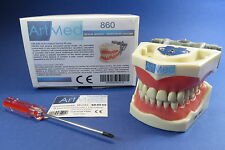 Dental Typodont Anatomy Educational Model With Universal Plate 860   ARTMED