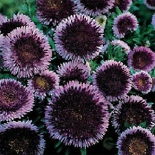 100 Seeds Aster Pompon Blue Moon FLOWER SEEDS