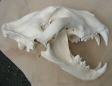 """Lionzilla"" monster record size African lion skull taxidermy cast replica"