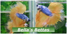 THAI IMPORT Blue Mustard Yellow Marble Cellophane Rosetail Halfmoon Betta FISH