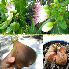 2 Seeds Barringtonia asiatica, sea poison tree, Dried for Planting or Decorate