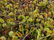 Carnivorous plant Dionaea muscipula, Venus Fly Trap, 500 seeds