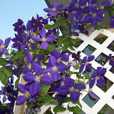 100PCS Purple Clematis Seeds Hybridas Hanging Flowers Potted Balcony Home Decor