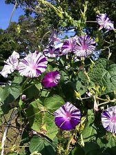 Japanese Morning Glory-Purple Flaked-Purple & White Blooms-12 seeds-2015