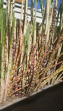 "5 6"" Sugarcane Plant Cuttings Lot Red Tar Blue Frosted Super Purple Yellow Green"