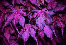 10 PURPLE GHOST JAPANESE MAPLE ** SEEDS **  PLANTS TREES ORNAMENTAL BONSAI