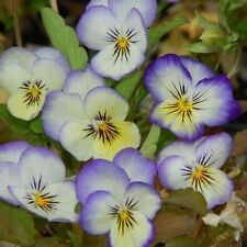 25 Viola Tricolor F1 Johnny Jump Up Violet and White Seeds