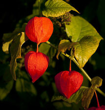 50 Samen Physalis Alkekengi / Choco / Amour in Cage / Blume Mehrjährig
