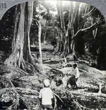 Keystone Stereoview of Rubber Trees near Kandy, CEYLON from the 1930's T600 Set