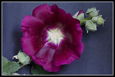12 graines de ROSE TREMIERE VIOLETTE (Alcea Rosea ) X60 PURPLE HOLLYHOCK SEEDS