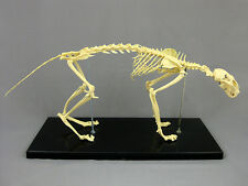 Cat Skeleton, Feline, Prop Decoration Anatomical NEW