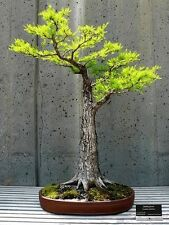 Bonsai seed - Dawn Redwood, Metasequoia glyptostroboides, - Pack of 10 seeds
