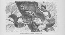Assapan Gleithörnchen Flughörnchen Pteromys volans Holzstich von 1891 G. Mützel