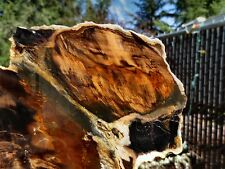 RFM - PETRIFIED WOOD Unique Eagles Nest Oregon Colorful WILD Grain Pattern Slab