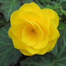 Begonia Double Yellow Flower Seeds (Begonia Tuberosa) 30+Seeds