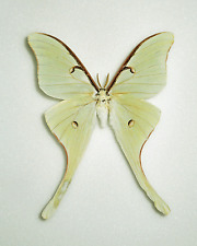 ACTIAS TRUNCATIPENNIS*male A-*MEXICO