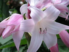 Crinum Lily, Peachblow Improved, large, blooming-size bulb -  VERY RARE