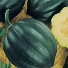 TABLE QUEEN ACORN SQUASH Cucurbita Pepo Seeds (5 seeds)  V-114