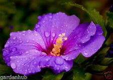 Live Purple Hibiscus - 1 Healthy Plant  - 1 Flowering Plant -  Pack In 1 Pot