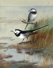 Thorburn Archibald A Pair Of Pied Wagtails Canvas 16 x 20    #3128