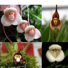 Lots 10pcs Lovely Cartoon Monkey Face Orchid Flower Seeds Unique Planting Garden