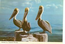 "PELICANS IN TROPICAL FLORIDA-4""X6""--(BIRDS-565*)"