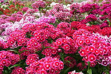 100 + DIANTHUS FLOWER SEEDS - SWEET WILLIAM PINK GROUNDCOVER MIX - USA FASTSHIP