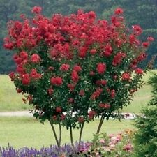 Dwarf Crape Myrtle Red Seeds - Longest Blooming Tree
