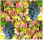 BULK AMUR GRAPE - Vitis amurensis Seeds FLOWERING VINE - GORGEOUS FALL COLORS A+