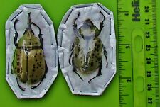 Western Hercules Beetle Rhinoceros Dynastes granti Pair 50mm FAST SHIP FROM USA
