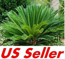 1 PC King Sago Palm Trees Seed T19, Cycas Tree Seed Gardening