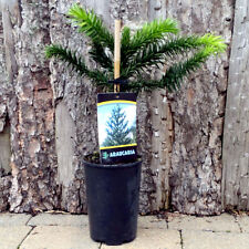 Monkey Puzzle Tree - Araucaria. HEIGHT: 30-35 cm. Perfect specimen tree!